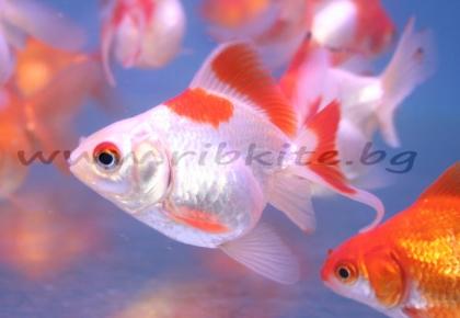 Червено и бяло руикин