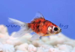 Златна риба- Калико